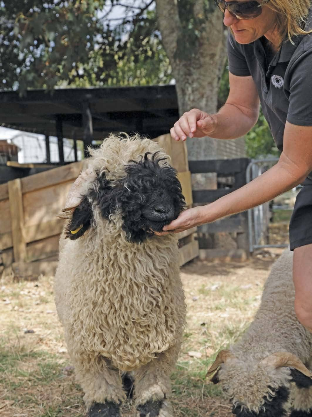 New zealand dating site sheep