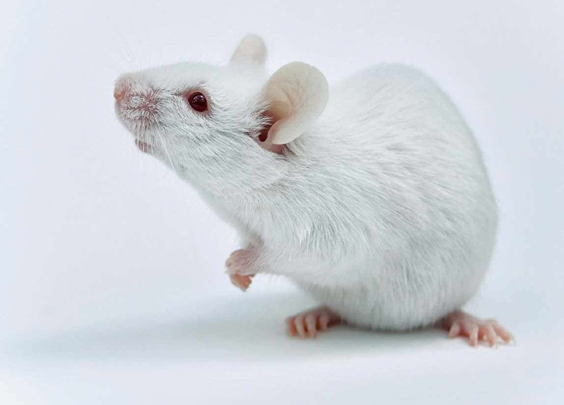 lab mouse pictures - HD1149×824