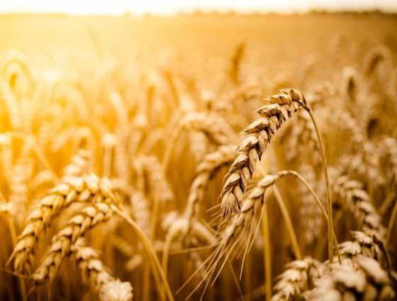 crispr revolution  crop improvement