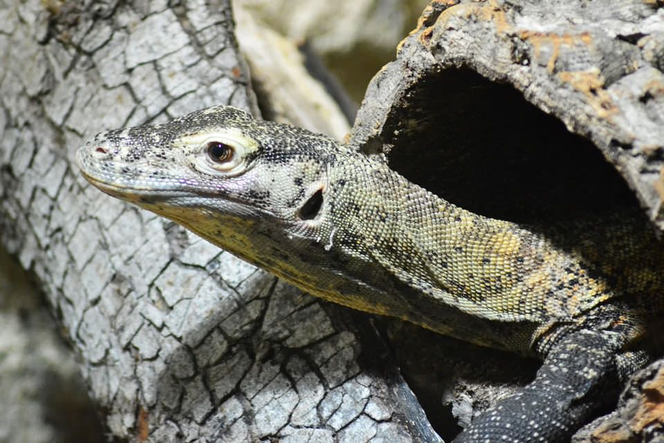 Indian Monitor Lizards Declining In Uttarakhand Due To The Wildlife Trading Of Genitalia As A Plant Product Hatha Jodi